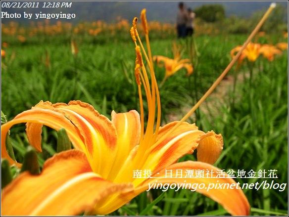 南投魚池_頭社活盆地金針花20110821_R0041563