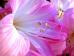 Lily (Clickor) Tags: pink flowers lily naturesfinest coth isladelatoja supershot atoxa diamondclassphotographer flickrdiamond coth5 hennysgardens blinkagain