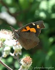 - Libythea celtis - (yokopakumayoko) Tags: sardegna butterfly farfalla borboletas nuoro libytheanacarinenta saariysqualitypictures farfallediyokopakumayoko farfalledisardegna ringexcellence lepibellefarfalle papillonsdelasardaigne farfalleinitalia farfallefiorivolanti