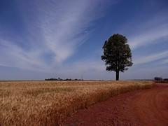 Trigo  /  Wheat (IgorCamacho) Tags: road winter sky tree paraná field clouds rural landscape wheat paisagem céu estrada cielo nubes nuvens agriculture curve inverno árvore cirrus trigo curva agricultura