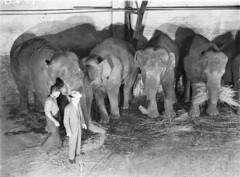 Wirths' Circus elephants, Royal Easter Show, Sydney, before 1940 / photographer Sam Hood