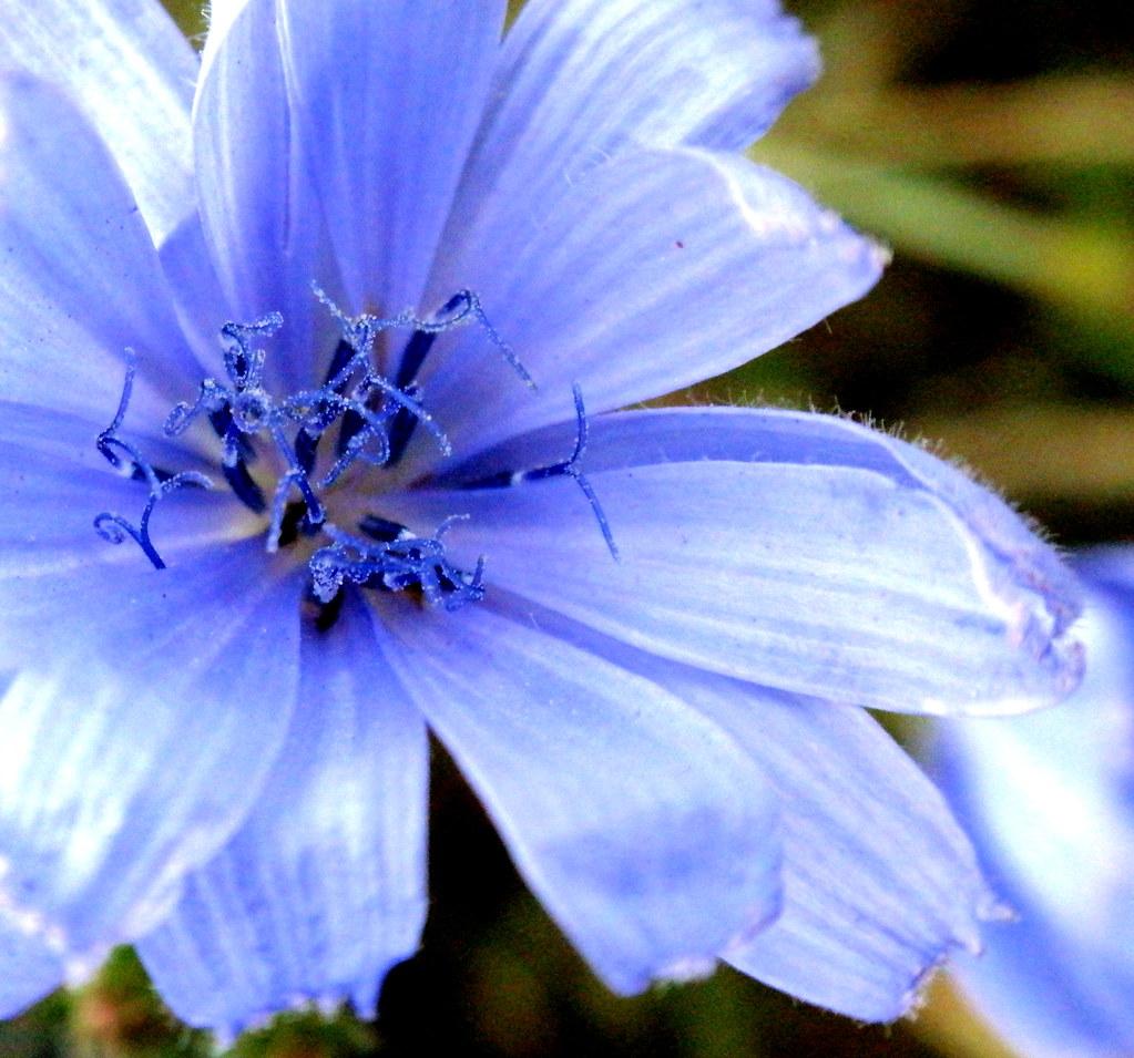 Blue flower of cichorium intybus