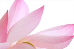Lotus Flower - IMG_6066-1000 (Bahman Farzad) Tags: pink flower macro yoga peace waterlily lotus relaxing peaceful meditation therapy lotusflower lotuspetal lotuspetals lotusflowerpetals lotusflowerpetal