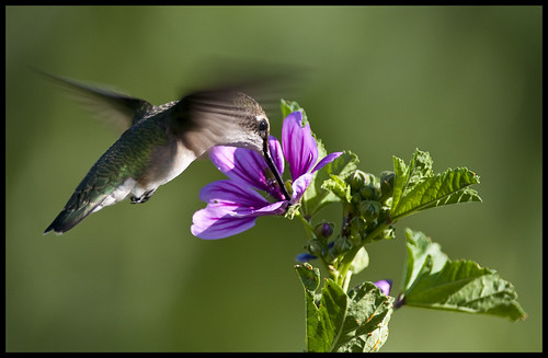 Ruby-throated hummingbird at zebra mallow 6 by Jen St. Louis