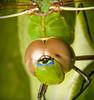 ~ ViaMoi DragonFly LARGE 2 ~ (ViaMoi) Tags: canada macro green nature closeup canon bug fly dragon natural dragonfly ottawa tamron90mm viamoi