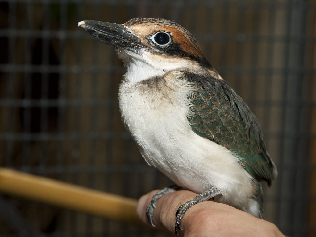 Extremely Rare Micronesian Kingfishers Hatch at the Smithsonian Conservation Biology Institute