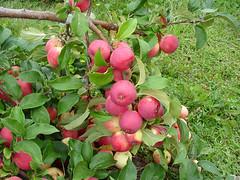 V.3 Tree with Fruit