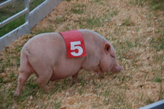 Slow Pig