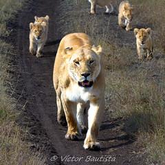 Mamá leona (Víctor Bautista) Tags: life africa parque wild animal animals fauna cat canon tanzania big natural leo kenya five lion safari leon vida cachorro 7d felino gran animales cubs cachorros serengeti aventura bigfive leones leona panthera manada crias llanura salvaje 100400 dzoom felido