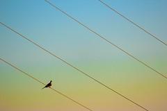 power lines - explored (Karol Franks) Tags: karolfranks aingworth okarol copyrighted bing google bird wire sunset getty rainbow sky powerlines karolfranksgmailcom ©2014 pleasedonotuseimageswithoutmypermission ©karolfranks okarolyahoocom