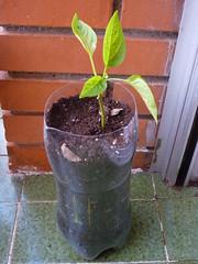 trasplante planta pimienta huerto urbano
