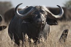 I'm looking at you (holtphoto) Tags: park buffalo african wildlife national krugernationalpark kruger dslra700