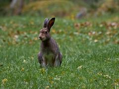 _DSC4665-Skogshare (helsingebilder) Tags: natur sept11 hälsingland gryten vildadjur skogshare ekoparkgrytaberg
