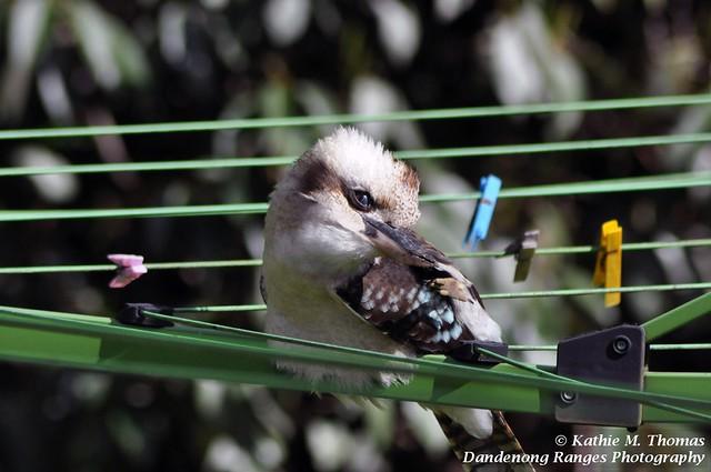 Australian laughing kookaburra scratching