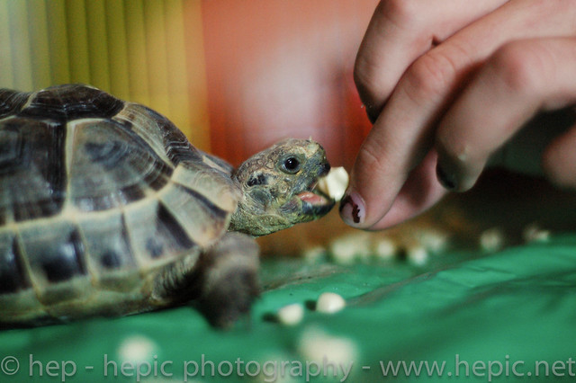 tortisima eats corn by hep