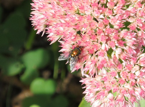 Fly on pink stonecrop