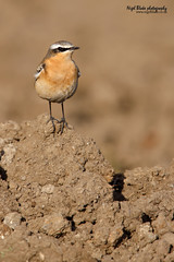 Northern Wheatear, Oenanthe oenanthe. (Nigel Blake, 15 MILLION views! Many thanks!) Tags: africa autumn winter sun bird by canon photography for back lit blake northern setting nigel converter migrating plumage wheatear oenanthe 14x eos1dsmkiii 600mmf4is
