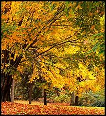 Burst of Gold (ccmerino) Tags: autumn trees red orange green fall yellow woods vivid soe cotc naturesbest bestofflickr smorgasbord naturelovers naturesfinest supershot amazingtalent 10faves amazingshot flickrsbest goldenmix beautifulcapture naturesgallery abigfave abigfav flickrgold shieldofexcellence anawesomeshot anamazingshot agradephoto nationalgeographicareyougoodenough wowiekazowie flickrdiamondaward amazingamateur excellentphotographer exemplaryshots focuslegacyaward colourartaward colorartaward betterthangood dazzlingshots everydayissunday perfectphotographers top20autumn daarkgobletaward coloursplosion goldstaraward flickrroseawards excellentphotographer3rdplace excellentphotographer1stplace 100commentgroup saariysqualitypictures