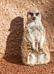 Against the wall (mowog) Tags: cute zoo meerkat victoria