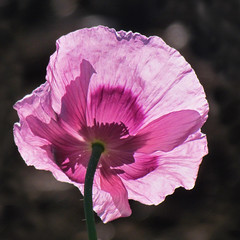 Back-lit Beauty (njchow82) Tags: plant flower nature closeup morninglight bokeh poppy mauve backlit beautifulexpression languageofflowers floralappreciation nancychow canonpowershotsx30is