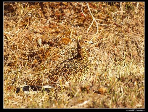Willow Ptarmigan (Lagopus lagopus) female