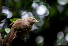 The Jungle Babbler (Rhivu_Ray) Tags: world travel wild india bird art nature canon photography is wings asia tour earth getty efs junglebabbler babbler kharagpur f456 bestofnature bookeh timaliidae turdoidesstriata bestofindia canoneos7d 55250mm efs55250mmf456is paschimbanga dblringexcellence tplringexcellence peregrino27life rhivu rhivuray rhitamvarray rhivuphotography