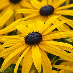Black-Eyed Susan.....(Explored) (Lady Haddon) Tags: flowers copyright flower macro london yellow canon flora 100mm yellowflower explore canon5d rudbeckia blackeyedsusan allrightsreserved 2011 yellowpetals canonef100mmf28macrousm flowersarebeautiful mixofflowers kimhaddon kimhaddonphotography khtgc