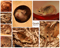 Quark the hamster (silkway) Tags: portrait pet animal hair rodent domestic hamster roborovski companion phodopusroborovskii cricetinae