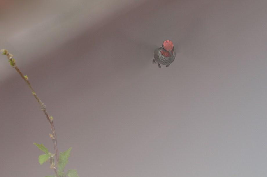 Anna's Hummingbird 081411-2
