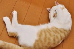 [免费图片] 动物, 哺乳动物, 猫, 睡脸・睡觉, 201108261100