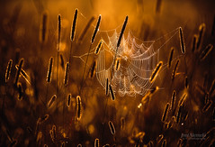 Cobweb (Joni N) Tags: morning summer net backlight golden spider pentax cobweb k5 timothygrass da300mm pentaxk5