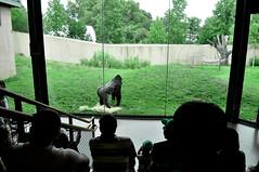 (Kristen Leary) Tags: people zoo nikon gallery audience gorilla watching exhibit 1855mm primate philadelphiazoo d5000