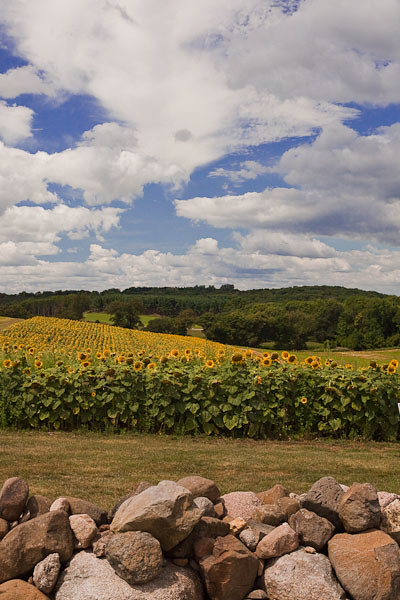 Sunflower Field and Rock Wall