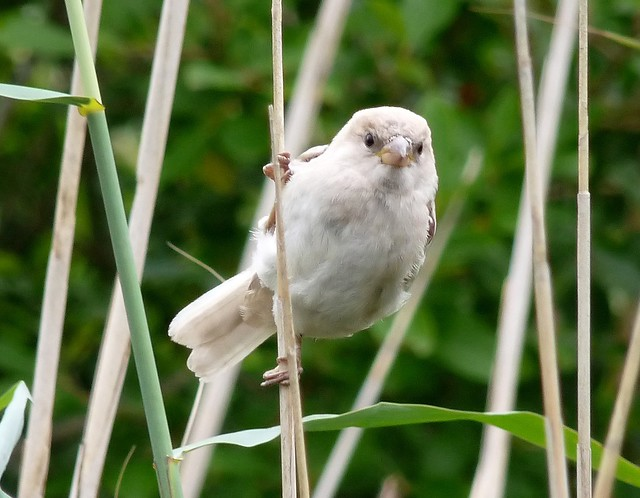 24788 - Leucistic House Sparrow, Llangorse Lake