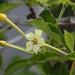 Flor de marmelo preto do Vale da Neblina  (Coccoloba sp)
