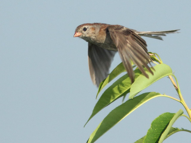 Field Sparrow in flight 20110819