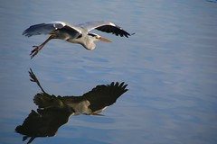 Heron flying low across the lake (blinkingidiot) Tags: england heron grey flickr lakeside nottinghamshire universityofnottingham heroninflight thegalaxy nottinghamuniversity highfieldpark avianexcellence natureselegantshots mygearandme nottinghamwildlife mygearandmeplatinum mygearandmediamond ringexcellence blinkagain dblringexcellence tplringexcellence artistoftheyearlevel2 musictomyeyeslevel1 flickrstruereflection1 flickrstruereflection2 flickrstruereflection3 flickrstruereflection4 flickrstruereflection5 flickrstruereflection6 flickrstruereflection7 flickrstruereflectionexcellence allofnatureswildlifelevel1 allofnatureswildlifelevel2 allofnatureswildlifelevel3 allofnatureswildlifelevel4 allofnatureswildlifelevel5 rememberthatmomentlevel4 flickrsfinestimages1 rememberthatmomentlevel2 rememberthatmomentlevel3 rememberthatmomentlevel7 me2youphotographylevel1 rememberthatmomentlevel5 rememberthatmomentlevel6