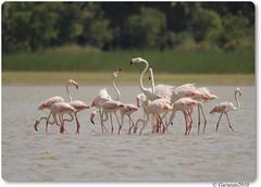 Greater Flamingos (Gurusan2010) Tags: greaterflamingo phoenicopterusroseus birdsoftamilnadu koonthankulam