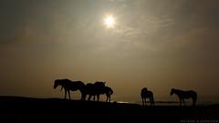 Before I awake (EspressoTime) Tags: ocean horses sun art silhouette sunrise canon photography photo image photograph assateague espressotime nathanharrison nathanaharrison