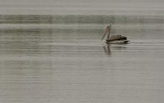 Glider (Nagarjun) Tags: birds bangalore herons madivala madiwala spotbilledpelicans egerts