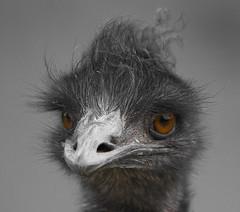 Stare (Ruahine Tramper) Tags: eye zoo beak feather 300mm auckland messy emu aucklandzoo
