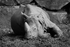 Uitgeteld (fritscdejong) Tags: rotterdam blijdorp moe dierentuin uitgeteld diergaarde indischeneushoorn