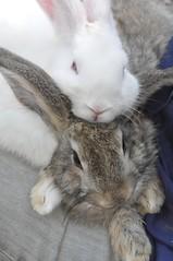 DSC_0221 (TheBosque) Tags: cute bunnies animals rabbits raisingchickensandrabbits raisingrabbitsandchickens virtualbosque