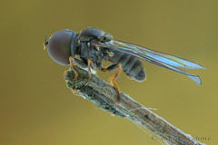 Moving big-headed fly stacked (Nikola Rahme) Tags: macro nature naturallight 51 diptera cablerelease focusstack canoneos5d sliktripod pipunculidae canonmpe65mmf28 bigheadedfly zerenestacker newportdovetailstage