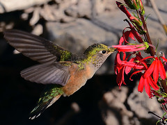 Broad-tailed Hummingbird (NatureNM) Tags: newmexico broadtailedhummingbird selasphorusplatycercus lobeliacardinalis oterocounty photocontesttnc11