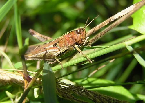 Omocestus viridulus - Criquet verdelet  (♀) - 15/08/11