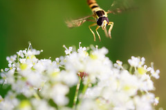 I'm coming !!! (Norbert Krlik) Tags: macro flying hoverfly canonef100mmf28macrousm canoneos40d