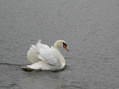 Swan - the Serpentine - Hyde Park