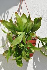 Disocactus Nelsonii (Dea Lunae) Tags: disocactus nelsonii