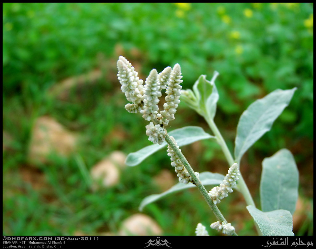 وعقبة أسير ظفار، بتاريخ 30-8-2011 6098316211_646fd5978